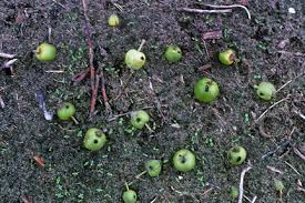 Falling Of Apples Prematurely
