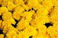A Sunburst  Chrysanthemum